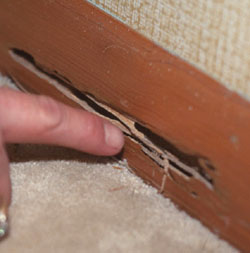 Beverly Hills termite feeding damage | termite control in Beverly Hills | Pest Control services in Beverly Hills