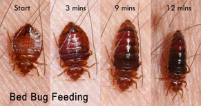 Bed Bugs and Signs to Prevent Infestation in Beverly Hills
